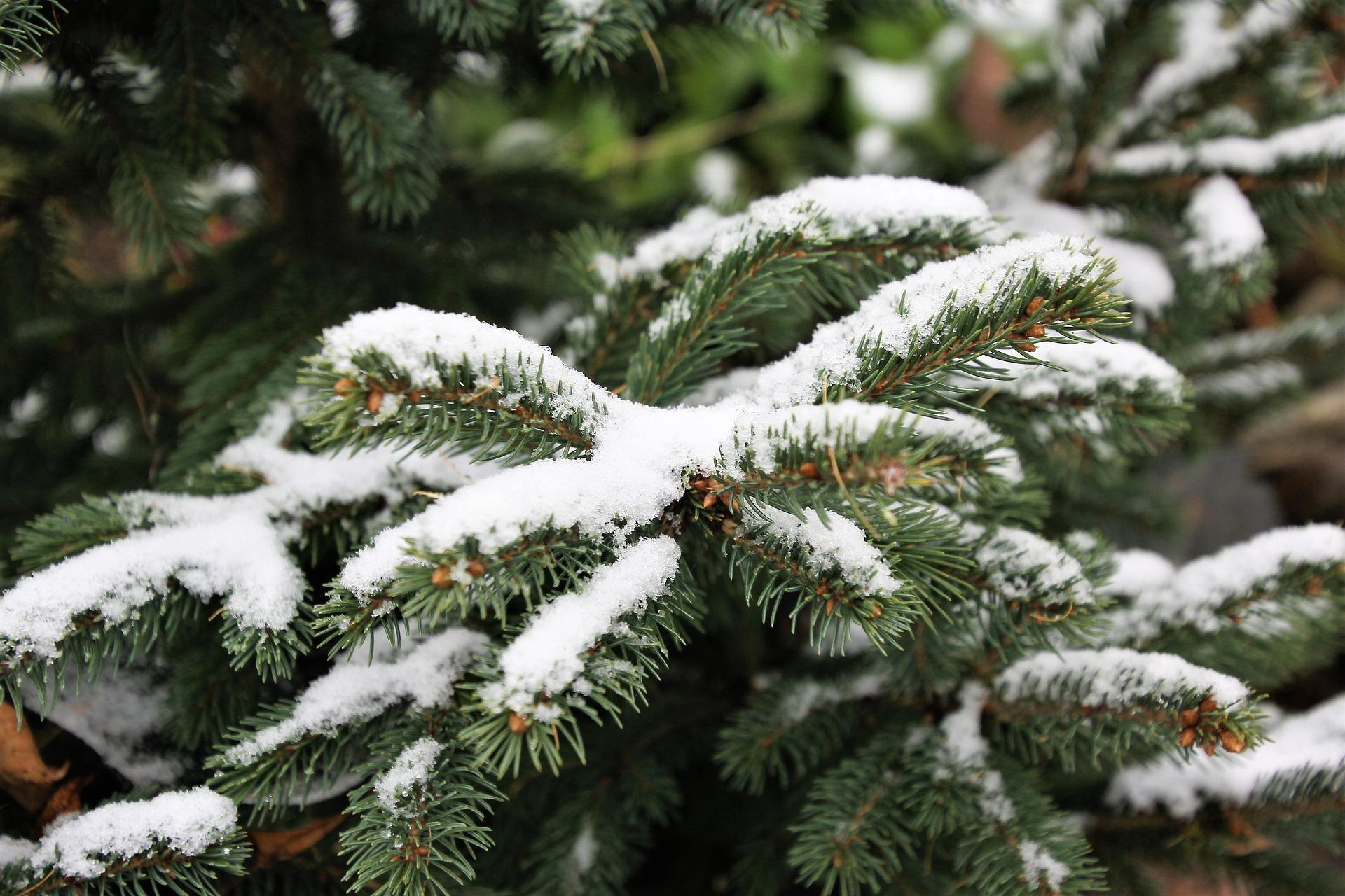 Młode odnóżki możemy zdjąć ze stelaża i przygiąć ziemi, przykrywając agrowłókniną lub stroiszczem z drzew iglastych