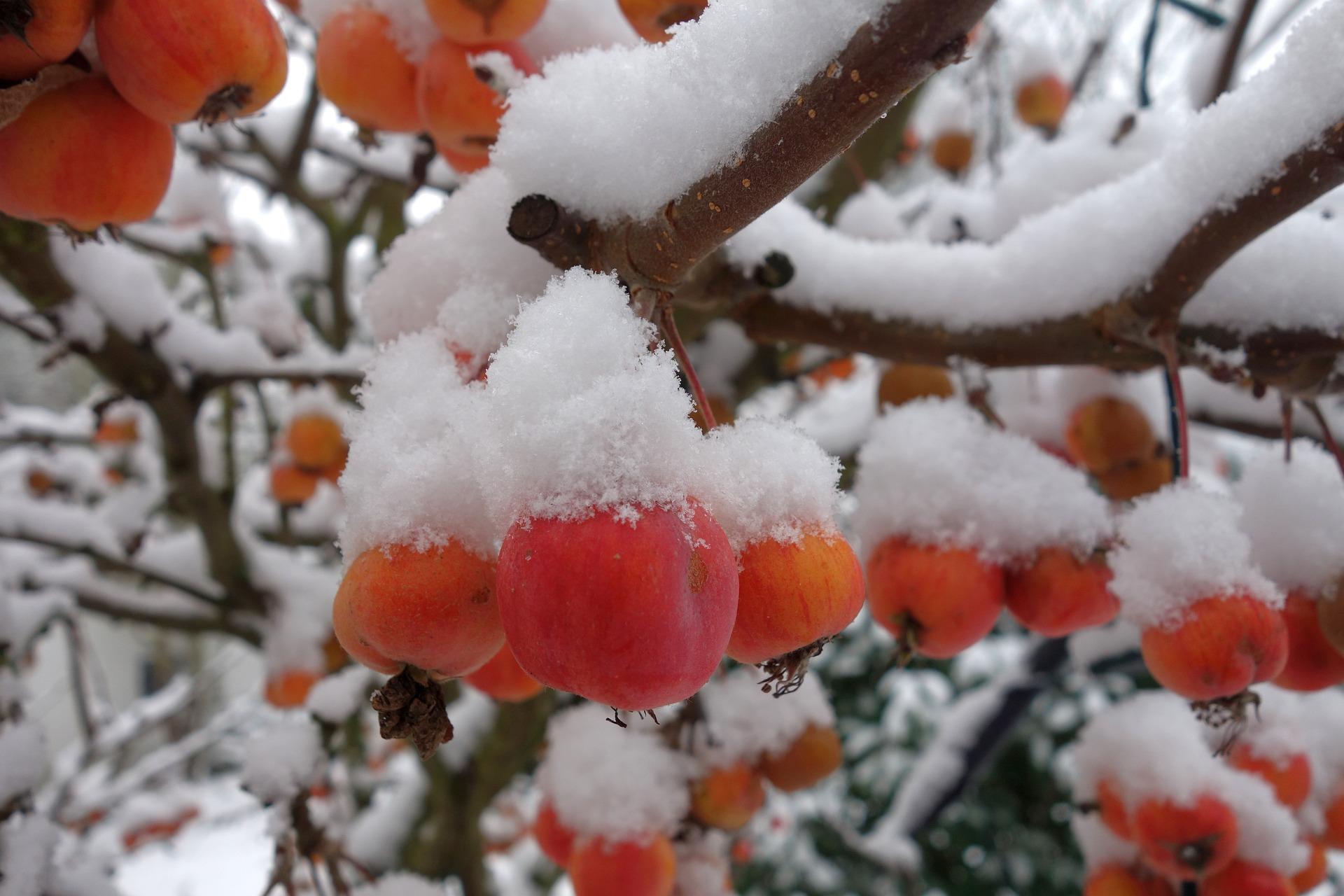 Jeśli nie usunęliśmy resztek zgniłych i suchych owoców wiszących na gałęziach drzew, czyli tzw. mumii jesienią zróbmy to koniecznie przed nadejściem wiosny