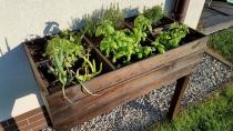 W skrzynce najlepiej posadzić zioła takie jak bazylia, tymianek czy mięta