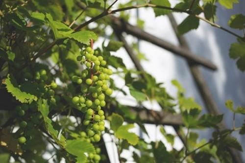 Pergole ogrodowe – pnące kwiaty i winorośle, które uatrakcyjnią teren wokół domu