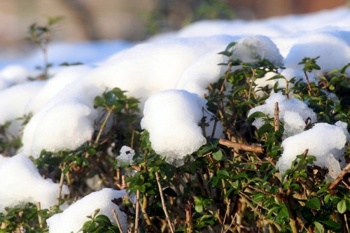 Rośliny zimozielone, czyli zima w ogrodzie nie musi być biała.